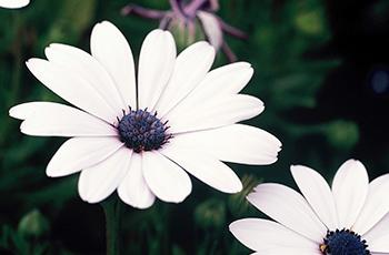 ディモルフォセカ(白)