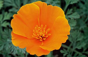 エスコルチア(橙)