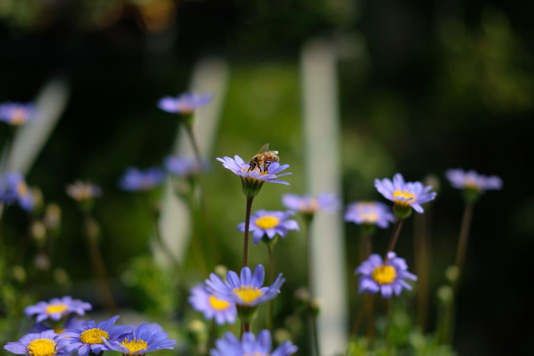 ブルーデイジーをすうハチ